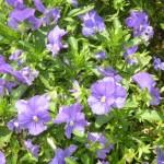 庭の花を紹介