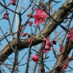 梅が咲いた、ほか